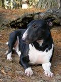 休息在森林里的黑色杂种犬 图库摄影