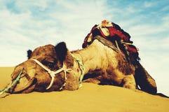 休息在沙漠动物概念的最逗人喜爱的骆驼 库存照片