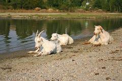 休息在河附近的三只白色山羊 免版税库存图片