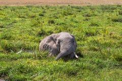 休息在沼泽的大非洲大象 Amboseli,肯尼亚 图库摄影