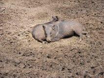 休息在泥的两头野生猪 免版税库存图片