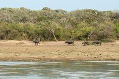 休息在泥的水牛在池塘 免版税库存图片