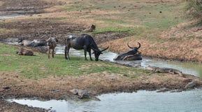 休息在泥的水牛在池塘 库存照片