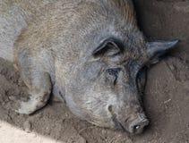 休息在泥的猪 库存照片