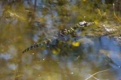 休息在浅水区的小鳄鱼在湖Apopka,佛罗里达 免版税库存图片