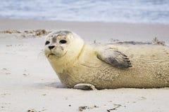 休息在海滩的一个公用印章的画象-海豹属vitulina 免版税库存照片
