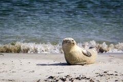 休息在海滩的一个公用印章的画象-海豹属vitulina 免版税图库摄影