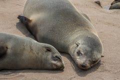休息在海角跨的纳米比亚的海狼 库存照片