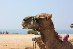 休息在海滩的骆驼 库存照片