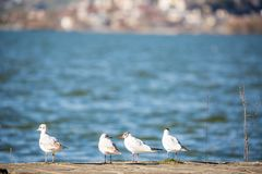 休息在湖的四只海鸥 免版税库存照片
