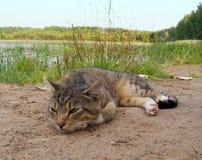 休息在湖附近的美丽的虎斑猫 免版税库存照片