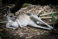 休息在灌木的袋鼠完全地放松 库存图片