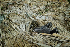 休息在烟草农场, Vinales的狗 免版税图库摄影