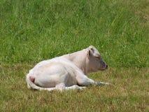 休息在牧场地的幼小白色公牛 免版税库存图片