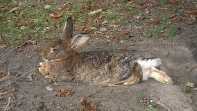 休息在狂放的兔子
