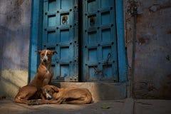 休息在瓦腊纳西,印度的流浪狗 库存图片