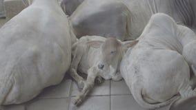 休息在白色母牛之间牧群的小牛  股票视频