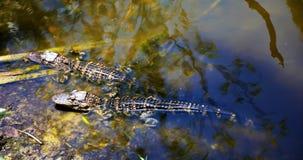 休息在的小鳄鱼沼泽地沿门罗连接点筑成池塘 免版税库存图片