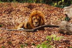 休息在秋叶的狮子 库存图片
