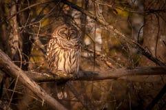 休息在秋天太阳的条纹猫头鹰 库存图片