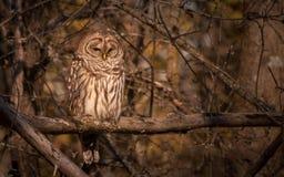 休息在秋天太阳的条纹猫头鹰 免版税图库摄影