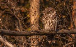 休息在秋天太阳的条纹猫头鹰 库存照片