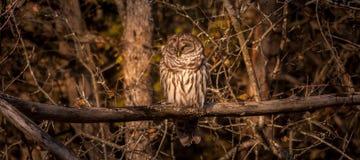 休息在秋天太阳的条纹猫头鹰 免版税库存图片