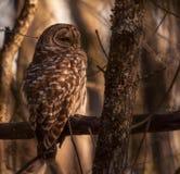 休息在秋天太阳的条纹猫头鹰 图库摄影