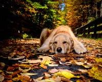 休息在秋天的金毛猎犬 免版税库存图片