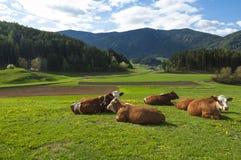 休息在美好的春天的可爱的棕色和白色母牛绿化 库存照片
