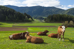 休息在美好的春天的可爱的棕色和白色母牛绿化 免版税库存照片