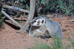 休息在老马车车轮附近的獾 库存图片