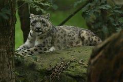 休息在自然栖所的危险的雪豹 免版税库存照片