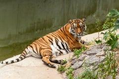 休息在自然的老虎在水附近 免版税库存照片