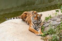 休息在自然的老虎在水附近 免版税库存图片