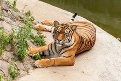 休息在自然的老虎在水附近 免版税图库摄影
