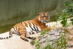 休息在自然的老虎在水附近 库存照片