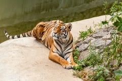 休息在自然的老虎在水附近 库存图片