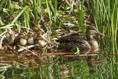 休息在芦苇的一个小组逗人喜爱的野鸭鸭子语录platyrhynchos在一条小河的边与他们的母亲的在水中 免版税库存图片