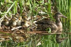 休息在芦苇的一个小组逗人喜爱的野鸭鸭子语录platyrhynchos在一条小河的边与他们的母亲的在水中 库存照片