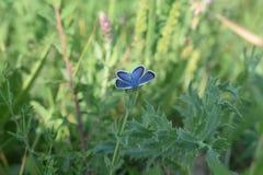 休息在草甸的春天蓝色蝴蝶 库存照片