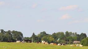 休息在草甸的母牛 影视素材