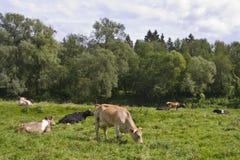 休息在草甸的母牛 库存图片