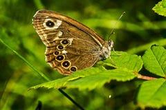 休息在草的一只美丽的蝴蝶 免版税图库摄影