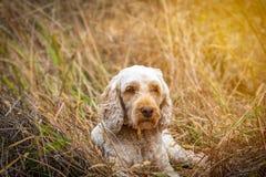 休息在草的一逗人喜爱的spoodle在长的步行以后 免版税库存照片