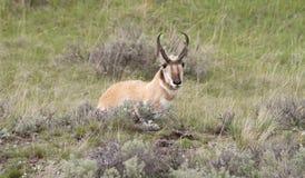 休息在草的叉角羚羊 库存图片