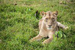 休息在草的困雌狮在Amboseli国家公园(肯尼亚) 免版税库存图片