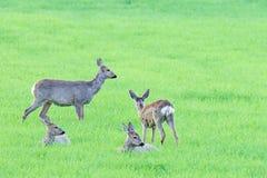 休息在草的獐鹿 图库摄影