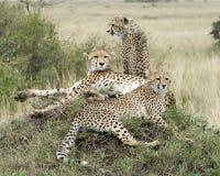 休息在草覆盖的土墩顶部的两头成人和一头幼小猎豹特写镜头sideview  库存照片