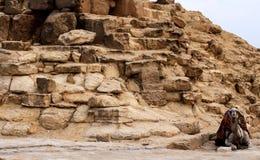 休息在那个的逗人喜爱的骆驼金字塔附近在吉萨棉,开罗,埃及 免版税库存照片